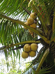 coconut tree survival food